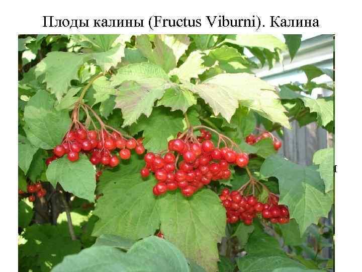 Плоды калины (Fructus Viburni). Калина обыкновенная (Viburnum opulus). Жимолостные (Caprifoliaceae). Плоды калины проявляют спазмолитическое