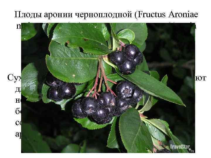Плоды аронии черноплодной (Fructus Aroniae melanocarpae). Арония черноплодная (Aronia melanocarpa). Розоцветные (Rosaceae). Сухие или