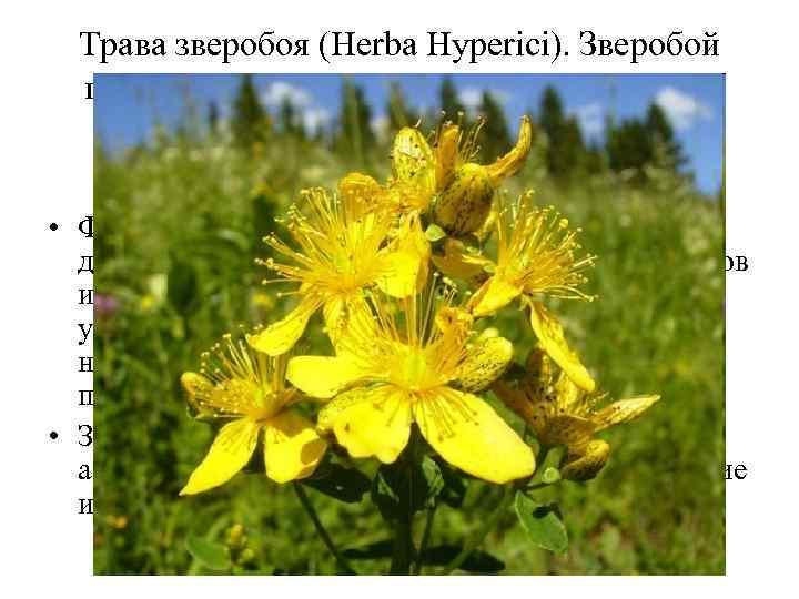 Трава зверобоя (Нerba Hyperici). Зверобой продырявленный (Hypericum perforatum). Зверобойные (Hypericaceae). • Флавоноиды оказывают спазмолитическое