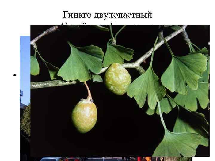 Гинкго двулопастный Семейство: Гинкговые • Препараты гинкго двулопастного применяют при нарушениях мозгового и периферического
