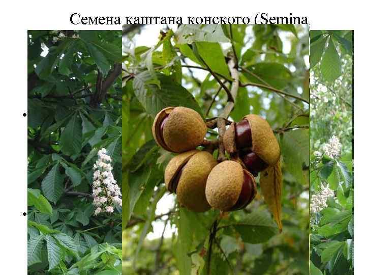Семена каштана конского (Semina Hippocastani). Каштан конский (Aesculus hippocastanum). Конскокаштановые (Hippocastanaceae). • Терапевтический эффект