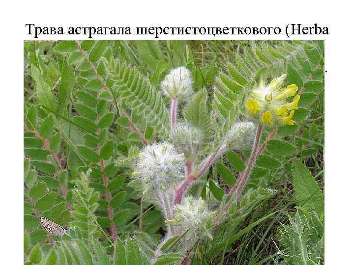Трава астрагала шерстистоцветкового (Herba Astragali dasyanthi). Астрагал шерстистоцветковый (Astragalus dasyanthus). Бобовые (Fabaceae). Препараты астрагала