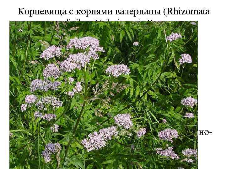 Корневища с корнями валерианы (Rhizomata cum radicibus Valerianae). Валериана лекарственная (Valeriana officinalis). Валериановые (Valerianaceae).