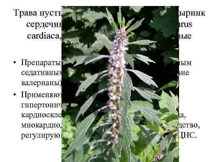 Трава пустырника (Herba Leonuri). Пустырник сердечный, П. пятилопастный (Leonurus cardiaca, L. quinquelobatus). Яснотковые (Lamiaceae).