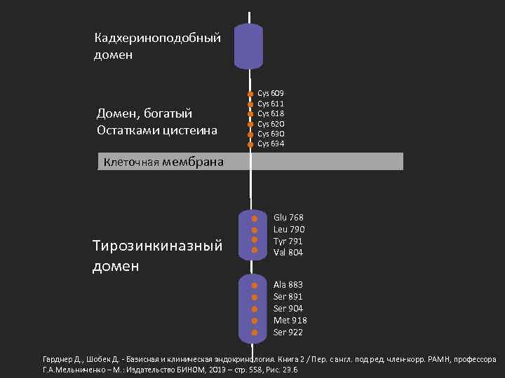 Кадхериноподобный домен Домен, богатый Остатками цистеина Cys 609 Cys 611 Cys 618 Cys 620
