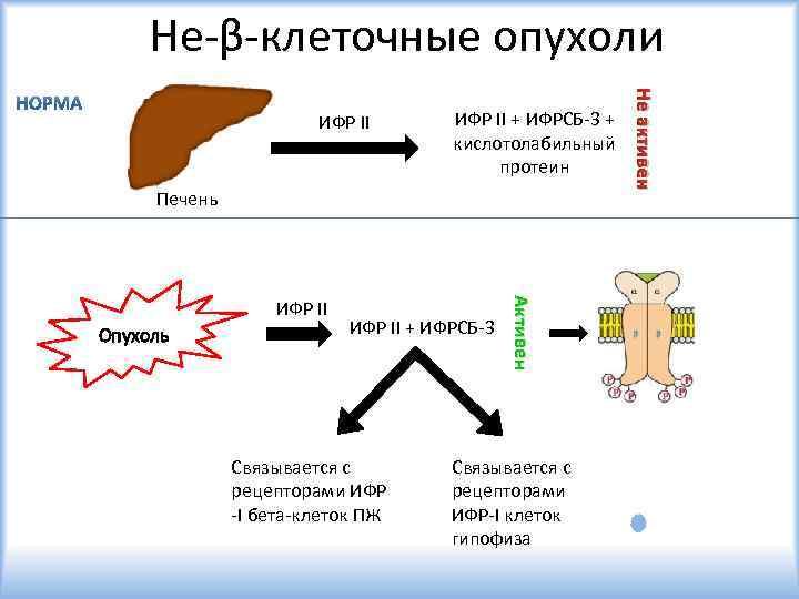 Не-β-клеточные опухоли ИФР II + ИФРСБ-3 + кислотолабильный протеин Печень Опухоль ИФР II +