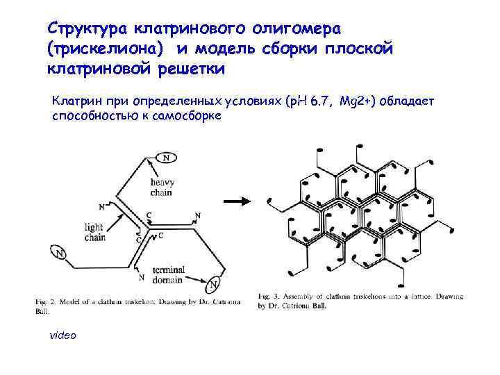 Структура клатринового олигомера (трискелиона) и модель сборки плоской клатриновой решетки Клатрин при определенных условиях