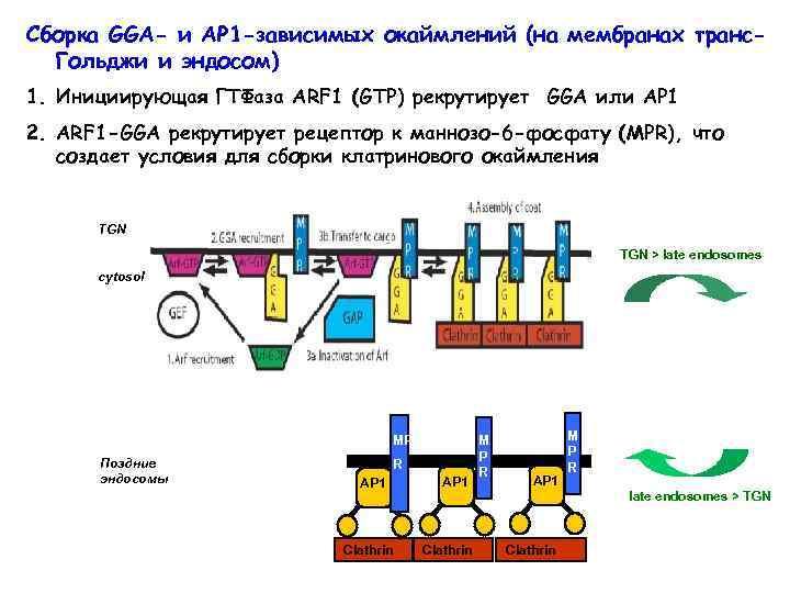 Сборка GGA- и AP 1 -зависимых окаймлений (на мембранах транс. Гольджи и эндосом) 1.