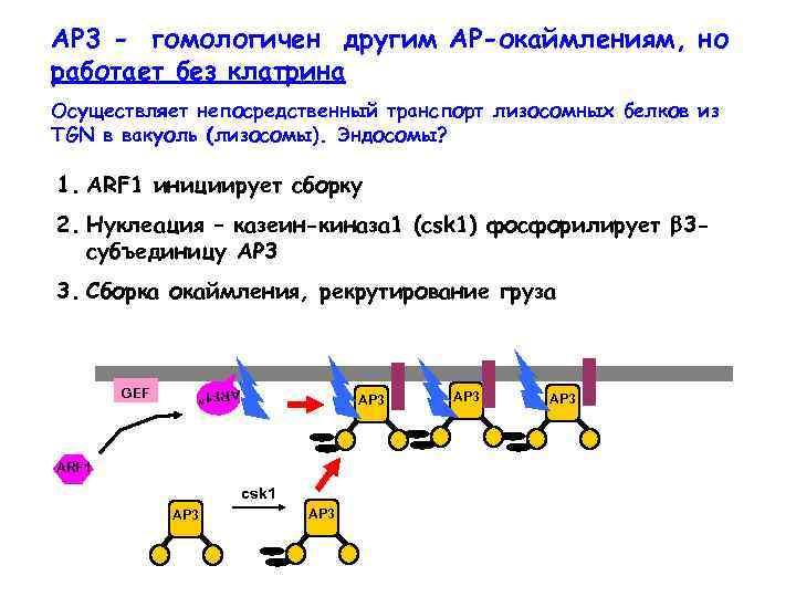 AP 3 - гомологичен другим АР-окаймлениям, но работает без клатрина Осуществляет непосредственный транспорт лизосомных