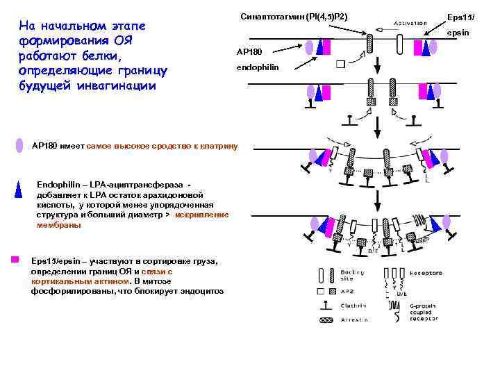 На начальном этапе формирования ОЯ работают белки, определяющие границу будущей инвагинации Синаптотагмин (PI(4, 5)P