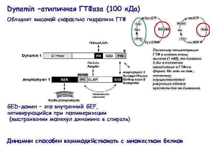Dynamin –атипичная ГТФаза (100 к. Да) Обладает высокой скоростью гидролиза ГТФ Поскольку концентрация ГТФ