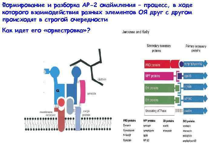 Формирование и разборка АР-2 окаймления – процесс, в ходе которого взаимодействия разных элементов ОЯ