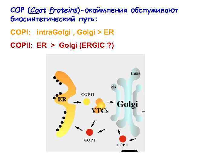 COP (Coat Proteins)-окаймления обслуживают биосинтетический путь: COPI: intra. Golgi , Golgi > ER COPII:
