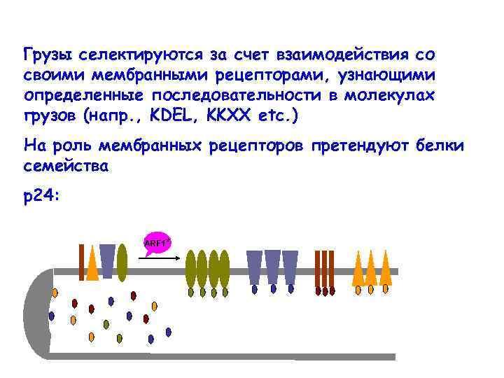 Грузы селектируются за счет взаимодействия со своими мембранными рецепторами, узнающими определенные последовательности в молекулах