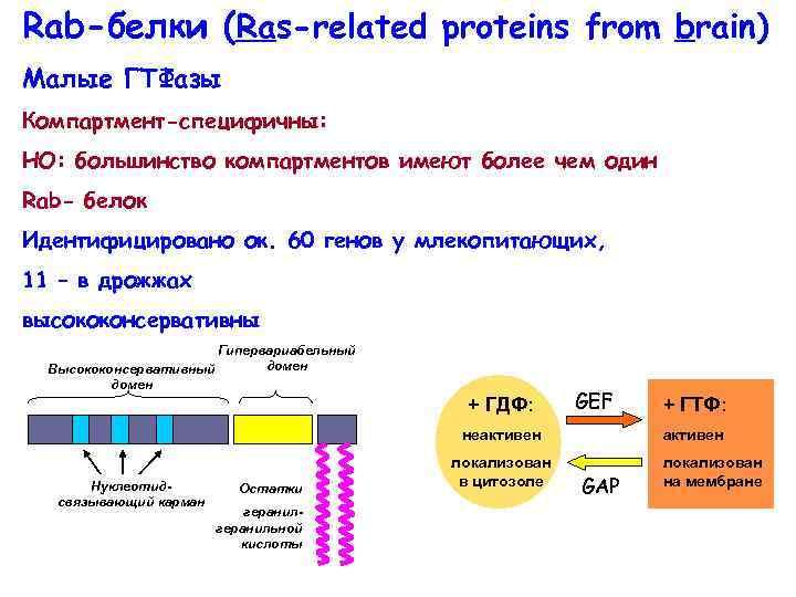 Rab-белки (Ras-related proteins from brain) Малые ГТФазы Компартмент-специфичны: НО: большинство компартментов имеют более чем
