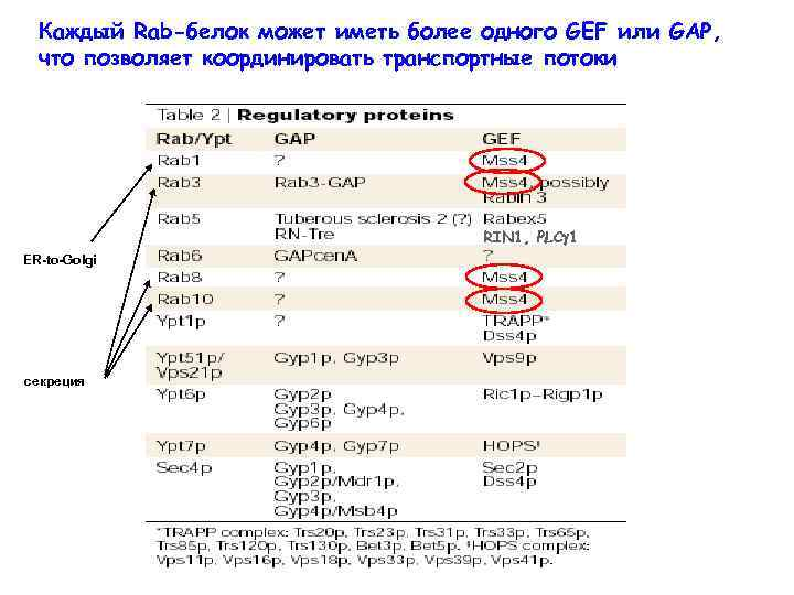 Каждый Rab-белок может иметь более одного GEF или GAP, что позволяет координировать транспортные потоки
