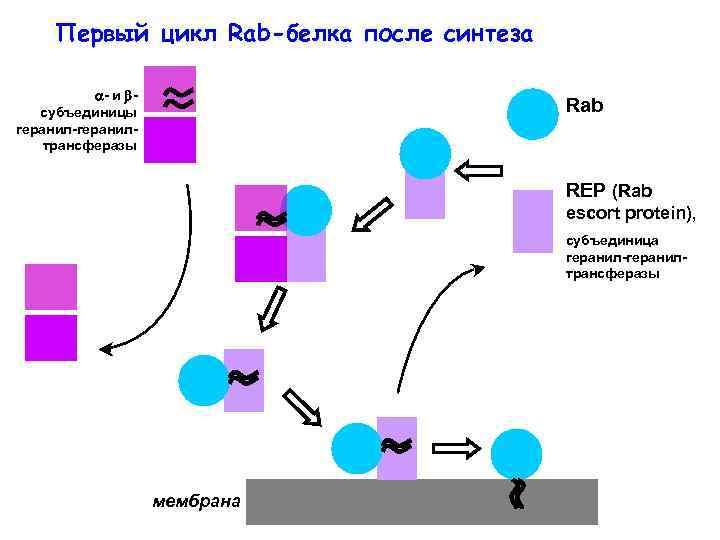 Первый цикл Rab-белка после синтеза - и субъединицы геранил-геранилтрансферазы Rab REP (Rab escort protein),