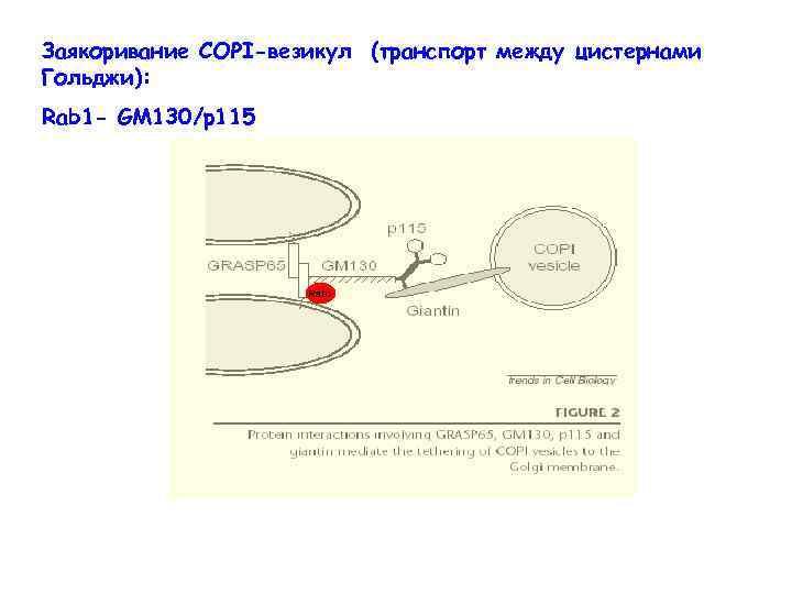 Заякоривание СОРI-везикул (транспорт между цистернами Гольджи): Rab 1 - GM 130/p 115 Rab 1