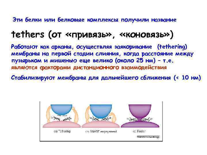 Эти белки или белковые комплексы получили название tethers (от «привязь» , «коновязь» ) Работают