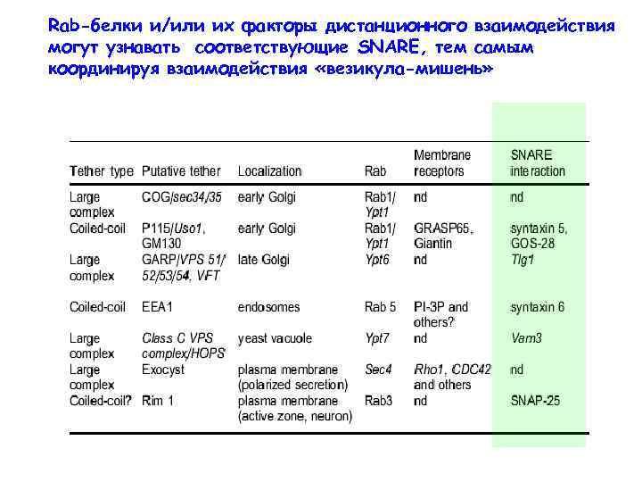 Rab-белки и/или их факторы дистанционного взаимодействия могут узнавать соответствующие SNARE, тем самым координируя взаимодействия
