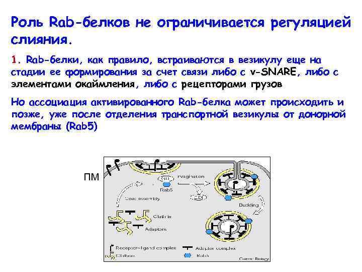Роль Rab-белков не ограничивается регуляцией слияния. 1. Rab-белки, как правило, встраиваются в везикулу еще