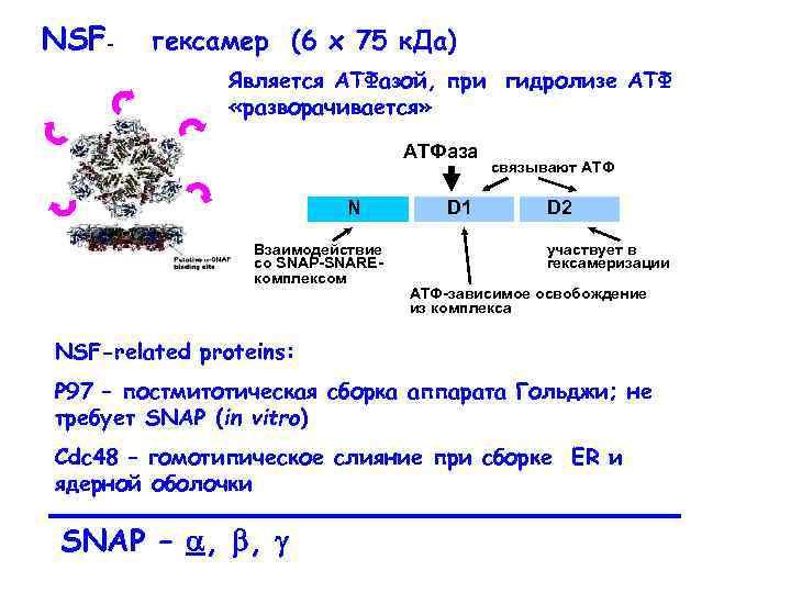 NSF- гексамер (6 x 75 к. Да) Является АТФазой, при гидролизе АТФ «разворачивается» АТФаза