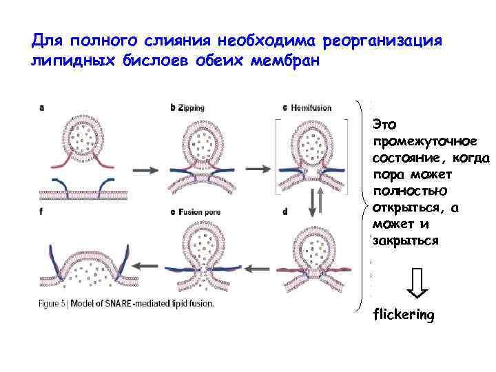 Для полного слияния необходима реорганизация липидных бислоев обеих мембран Это промежуточное состояние, когда пора