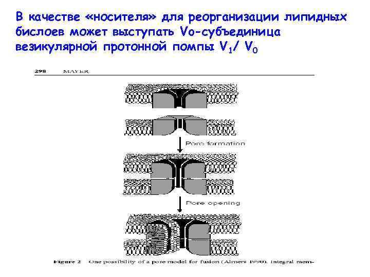 В качестве «носителя» для реорганизации липидных бислоев может выступать Vo-субъединица везикулярной протонной помпы V