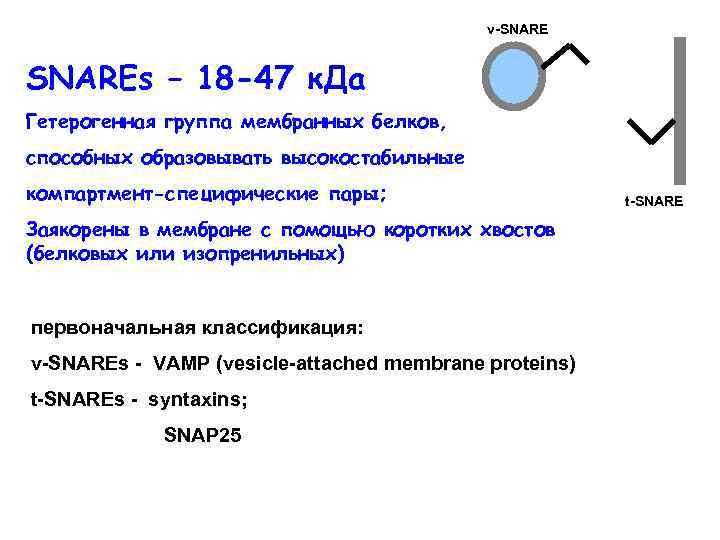 v-SNAREs – 18 -47 к. Да Гетерогенная группа мембранных белков, способных образовывать высокостабильные компартмент-специфические