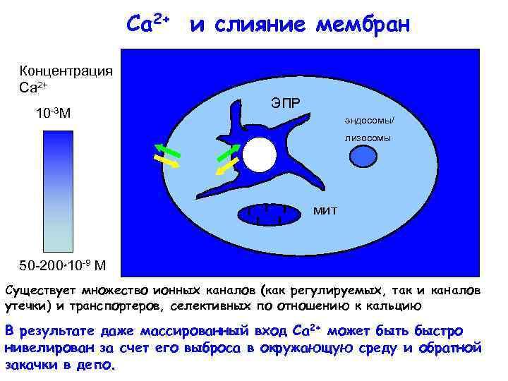 Ca 2+ и слияние мембран Концентрация Са 2+ 10 -3 М ЭПР эндосомы/ лизосомы