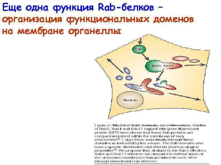 Еще одна функция Rab-белков – организация функциональных доменов на мембране органеллы