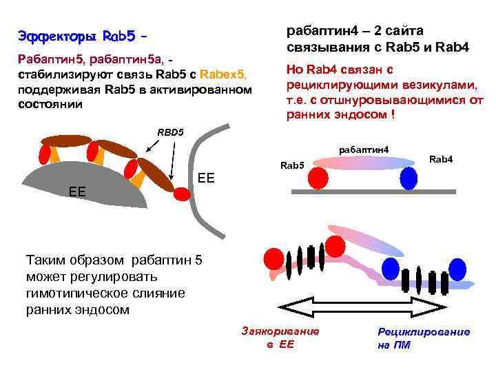 Эффекторы Rab 5 – Рабаптин 5, рабаптин 5 а, стабилизируют связь Rab 5 с