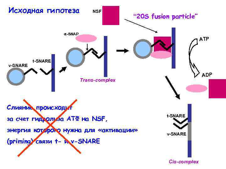 """Исходная гипотеза NSF """" 20 S fusion particle"""" -SNAP v-SNARE ATP t-SNARE ADP Trans-complex"""