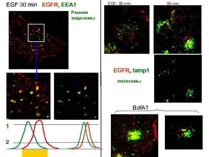 EGF 30 min EGFR, EEA 1 EGF: 30 min 90 min Ранние эндосомы EGFR,
