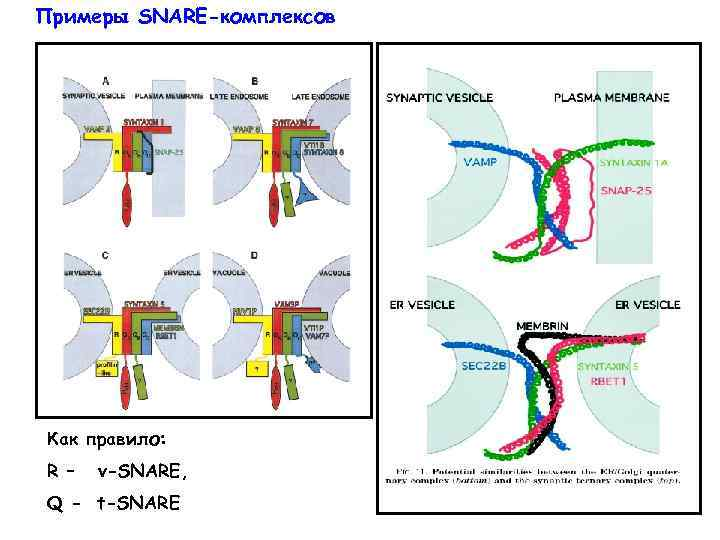 Примеры SNARE-комплексов Как правило: R – v-SNARE, Q - t-SNARE