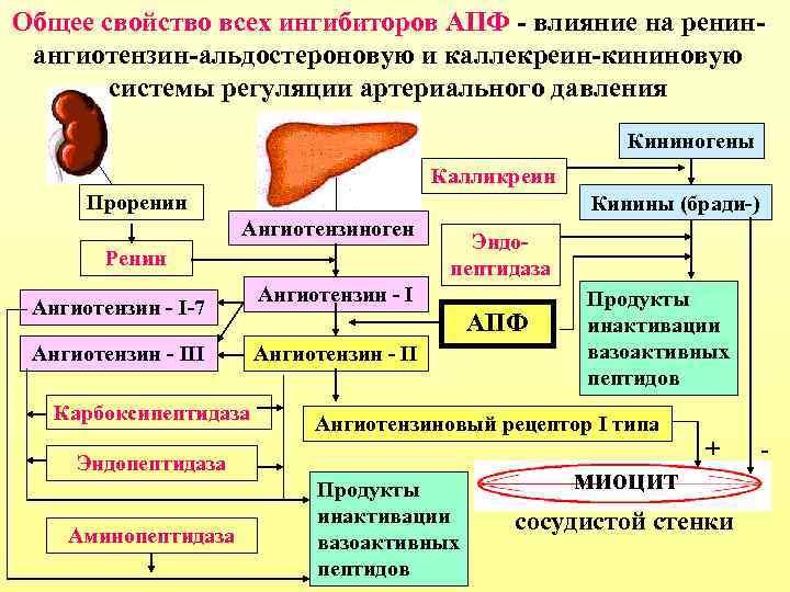 Общее свойство всех ингибиторов АПФ - влияние на ренинангиотензин-альдостероновую и каллекреин-кининовую системы регуляции артериального