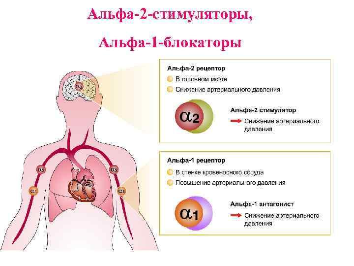 Альфа-2 -стимуляторы, Альфа-1 -блокаторы