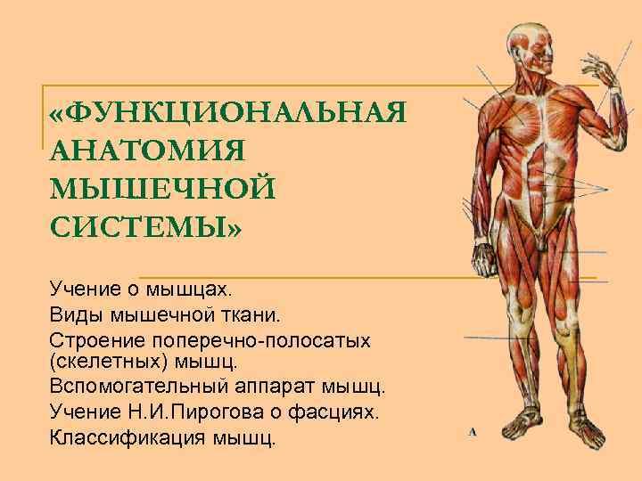 «ФУНКЦИОНАЛЬНАЯ АНАТОМИЯ МЫШЕЧНОЙ СИСТЕМЫ» Учение о мышцах. Виды мышечной ткани. Строение поперечно-полосатых (скелетных)
