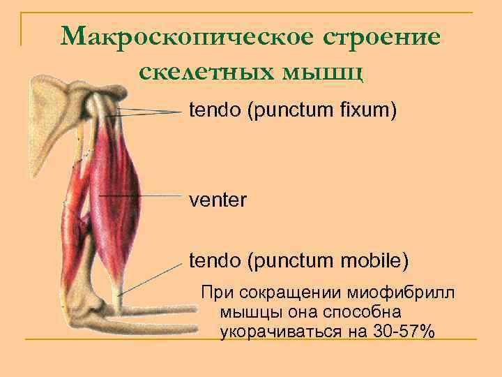 Макроскопическое строение скелетных мышц tendo (punctum fixum) venter tendo (punctum mobile) При сокращении миофибрилл