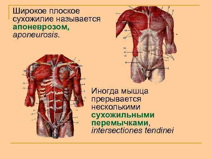Широкое плоское сухожилие называется апоневрозом, aponeurosis. Иногда мышца прерывается несколькими сухожильными перемычками, intersectiones tendinei