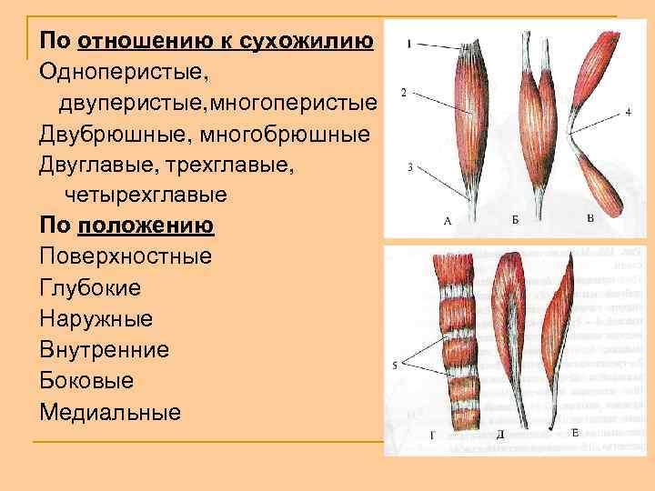 По отношению к сухожилию Одноперистые, двуперистые, многоперистые Двубрюшные, многобрюшные Двуглавые, трехглавые, четырехглавые По положению