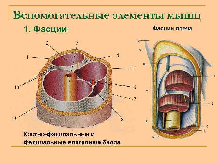 Вспомогательные элементы мышц 1. Фасции; Костно-фасциальные и фасциальные влагалища бедра