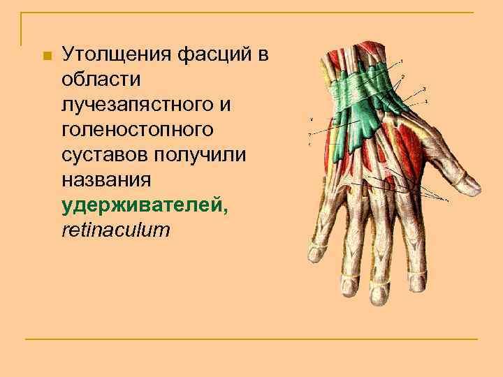 n Утолщения фасций в области лучезапястного и голеностопного суставов получили названия удерживателей, retinaculum