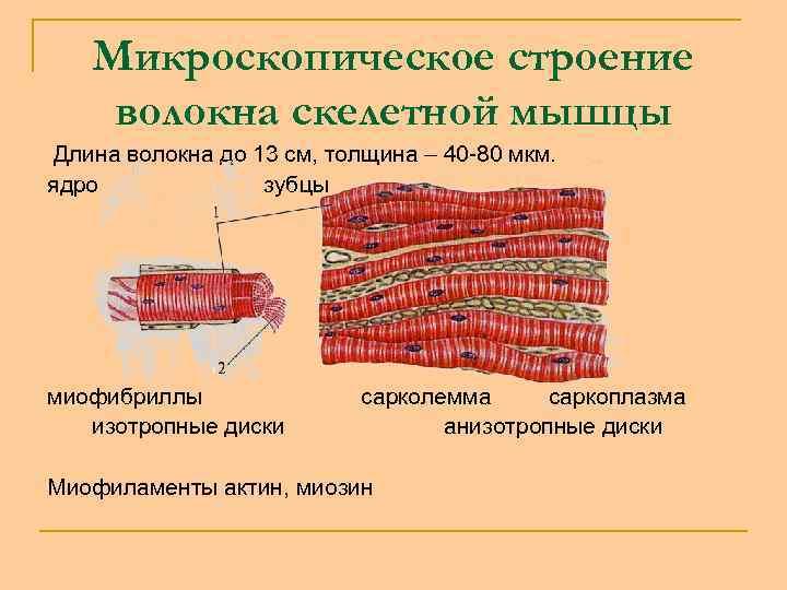 Микроскопическое строение волокна скелетной мышцы Длина волокна до 13 см, толщина – 40 -80