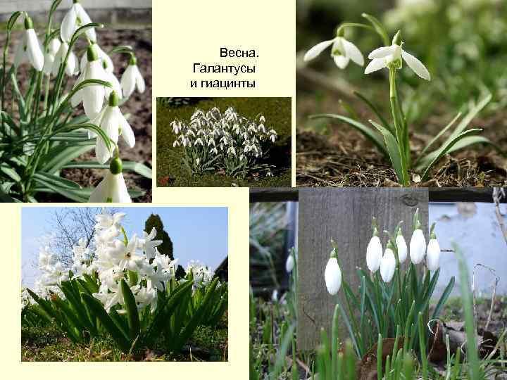 Весна. Галантусы и гиацинты