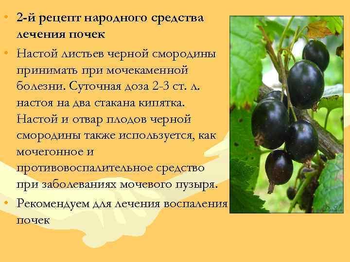 • 2 -й рецепт народного средства лечения почек • Настой листьев черной смородины