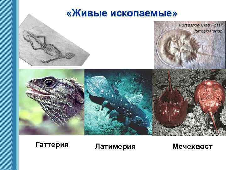 «Живые ископаемые» Гаттерия www. themegallery. com Латимерия Мечехвост