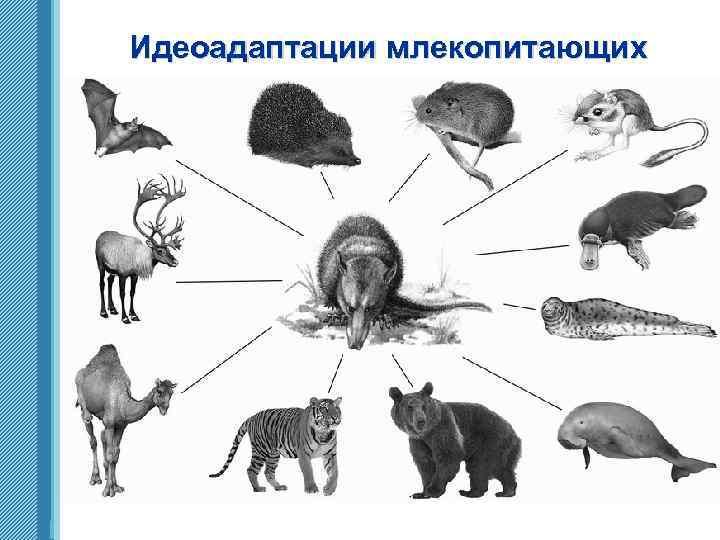 Идеоадаптации млекопитающих www. themegallery. com