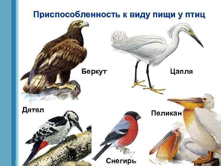 Приспособленность к виду пищи у птиц Беркут Дятел www. themegallery. com Цапля Пеликан Снегирь