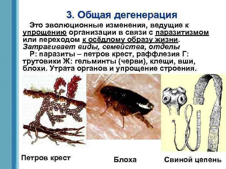 3. Общая дегенерация Это эволюционные изменения, ведущие к упрощению организации в связи с паразитизмом